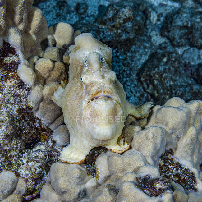 Thanks to cryptic coloration, this Commerson's Frogfish (Antennarius commerson) blends-in well next to the Mound Coral (Porites lutea) that it is perched on waiting to ambush prey on the Kona coast, the Big Island; Island of Hawaii, Hawaii, United St — стокове фото