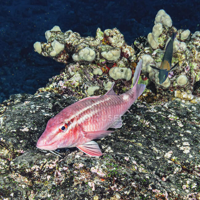 Whitesaddle Goatfish (Parupeneus porphyreus), a Hawaiian endemic fish resting on a reef offshore of Kihei, Maui, Hawaii. A Saddle Wrasse (Thalassoma duperrey) approaching from behind the goatfish is another endemic species; Maui, Hawaii, United State — Stock Photo