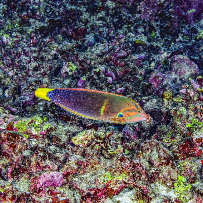 Beim Tauchen an der Küste von Kona, The Big Island, Hawaii, sah ich diesen männlichen Yellowtail Coris (Coris gaimard) schwimmen, indem er eine Seeigel-Beute hielt, einen Rotschiefer-Bleistift-Seeigel (Heterocentrotus mamillatus); Insel Hawaii, Hawaii, Vereinigte Staaten von Amerika — Stockfoto