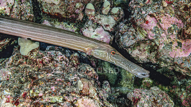 Close-up of a Chinese Trumpetfish (Aulostomus chinensis) poised next to volcanic rock reef off the Kona coast, the Big island; Island of Hawaii, Hawaii, United States of America — Stock Photo