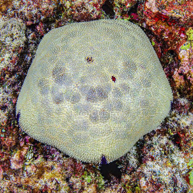 Kissenstern (Culcita novaeguineae) auf einem Riff vor der Küste von Kona, Big Island; Insel Hawaii, Hawaii, Vereinigte Staaten von Amerika — Stockfoto