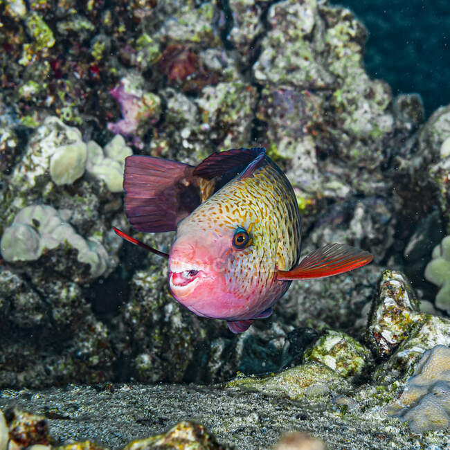 This female Bullethead Parrotfish (Chlorurus spilurus) turned to reveal its fused teeth which are used to scrape algae from coral heads. It was photographed while scuba diving the Kona coast, the Big Island, Hawaii; Island of Hawaii, Hawaii, United S — Stock Photo