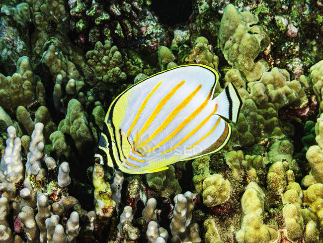 Ein Schmetterlingsfisch (Chaetodon ornatissimus) schwimmt über Finger- und Lappenkorallen (Porites compressa und P. lobata) am Haloha Reef vor Maui; Maui, Hawaii, Vereinigte Staaten von Amerika — Stockfoto