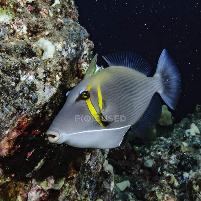 Este Lei Triggerfish (Sufflamen bursa) con espinas dorsales parcialmente erigidas fue fotografiado bajo el agua justo en la costa de Kihei, Maui, Hawai, EE.UU. Está dando vueltas por encima de una pequeña área sugiriendo que esta es una exhibición de cortejo; Maui, Hawaii, United - foto de stock