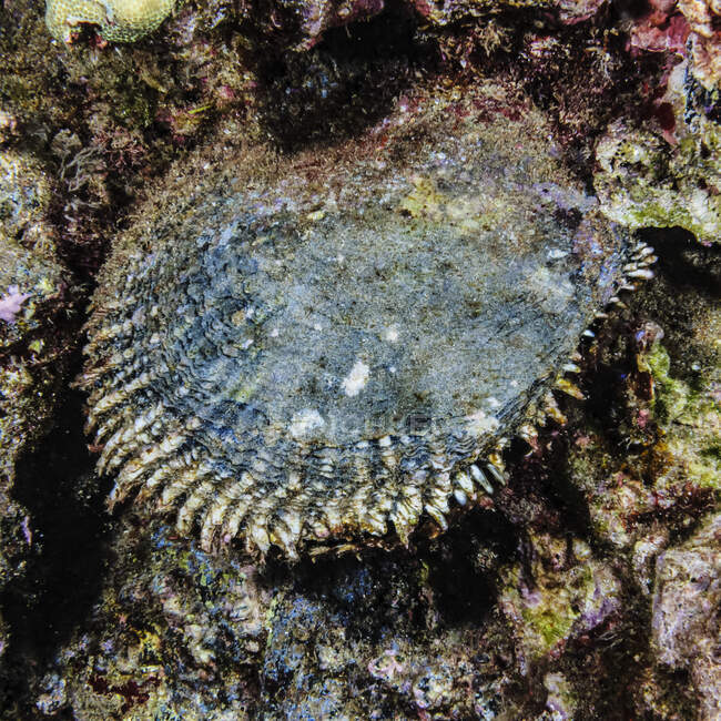 A Black-Lipped Pearl Oyster (Pinctada margaritifera) which is now a protected species, living at Haloha Reef off Maui, Hawaii, USA.  This is the animal that generates the precious pearls used in jewelry; Maui, Hawaii, United States of America — Stock Photo
