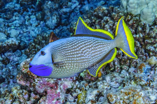 Pez ballesta macho (Xanthichthys auromarginatus) con una aleta dorsal espinosa erecta fotografiada bajo el agua en Maui, Hawái, EE.UU. Estaba dando vueltas por encima de su área de desove preparada sugiriendo que esta es una exhibición de cortejo; Maui, Hawaii, Unite - foto de stock