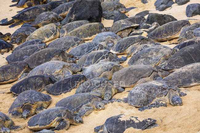 Numerosas tortugas marinas verdes (Chelonia mydas) durmiendo en la arena en la playa; Kihei, Maui, Hawaii, Estados Unidos de América - foto de stock