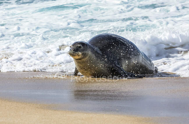 A Hawaiian Monk Seal (Neomonachus schauinslandi) leaving the water onto the beach with the foamy surf washing up behind it; Kihei, Maui, Hawaii, United States of America — Stock Photo