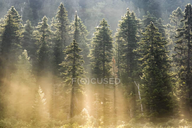 Spruce forest with morning mist and sun rays; Quebec, Canada — Stock Photo