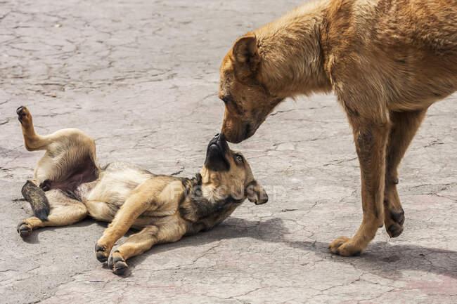 Dogs playing in the street; Otavalo, Imbabura, Ecuador — Stock Photo