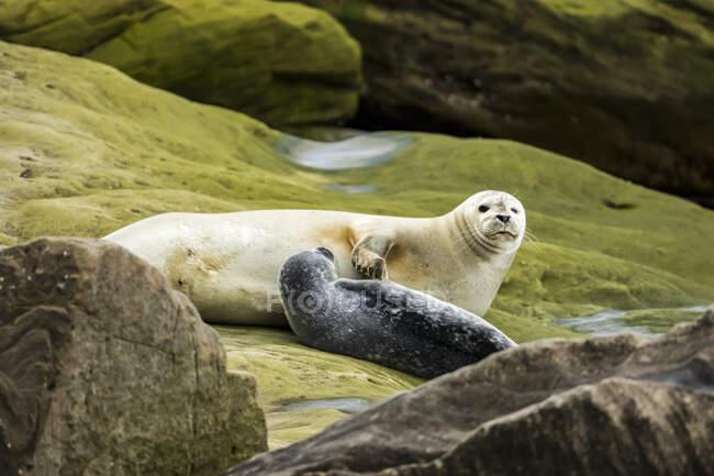 Foca marina e cucciolo (Phoca vitulina) adagiati su una roccia, Forillon National Park; Quebec, Canada — Foto stock
