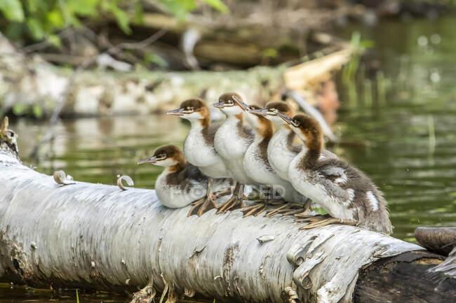 Mergansers Comune di due mesi (Mergus merganser) in piedi su un tronco caduto e guardando, La Mauricie National Park; Quebec, Canada — Foto stock