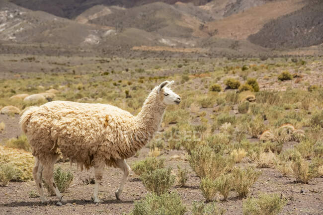 White llama (Lama glama) walking across the frame from left to right, desert hills in the background; Atacama, Chile — Stock Photo