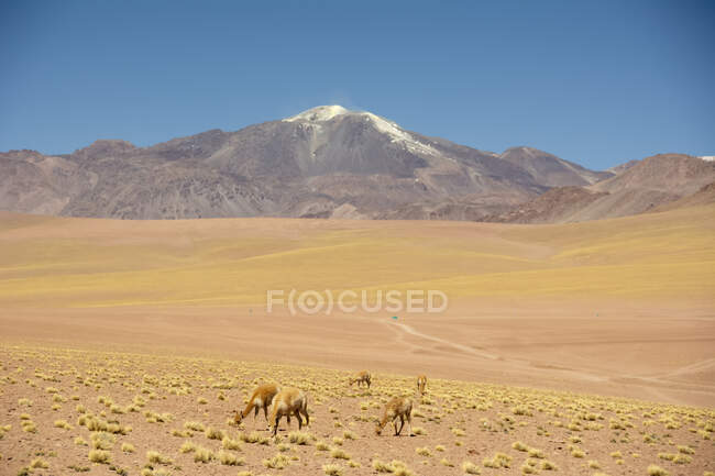 Herd of llamas (Lama glama) seen grazing on a slope with snow-capped volcano in the background; San Pedro de Atacama, Atacama, Chile — Stock Photo