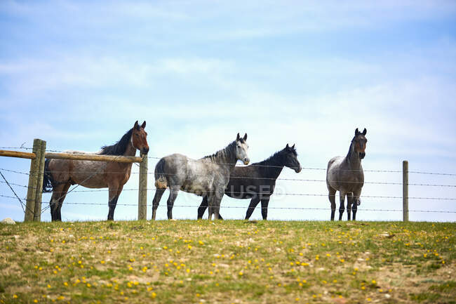 A group of 4 horses along a grass pasture fence line with a blue sky behind with some light clouds; Eastend, Saskatchewan, Canada — Stock Photo