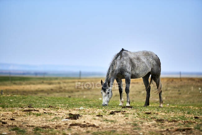 A grey horse eating in a pasture with straw on the ground, an open blue sky behind and a fence line on the horizon; Eastend, Saskatchewan, Canada — Stock Photo