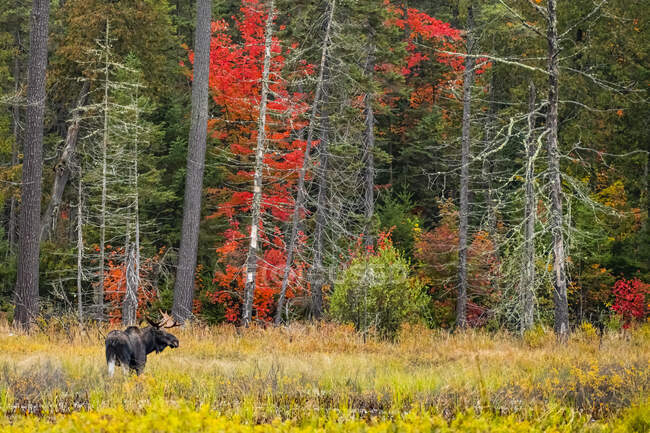Young bull moose (Alces alces americana) in a pond, Algonquin Provincial Park; Ontario, Canada — Stock Photo