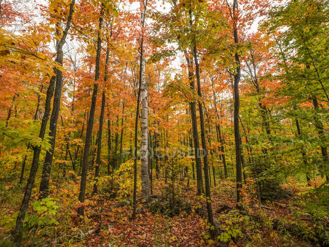 Autumn in Algonquin Provincial Park. beautiful trees and leaves; Whitney, Ontario, Canada — Stock Photo