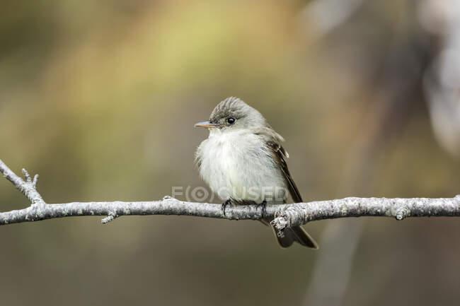 Mínimo cazador de moscas (Empidonax minimus) posado en una rama delgada, Parque Nacional Forillon; Quebec, Canadá - foto de stock