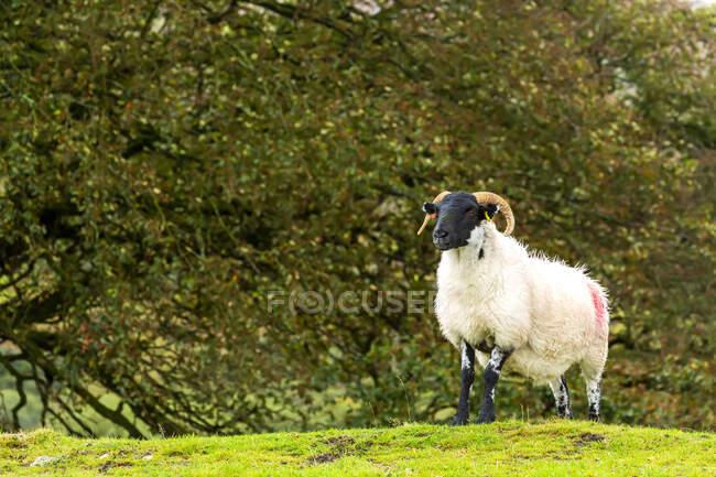 Un ariete solitario su una collina erbosa con alberi sullo sfondo; Contea di Cornovaglia, Inghilterra — Foto stock