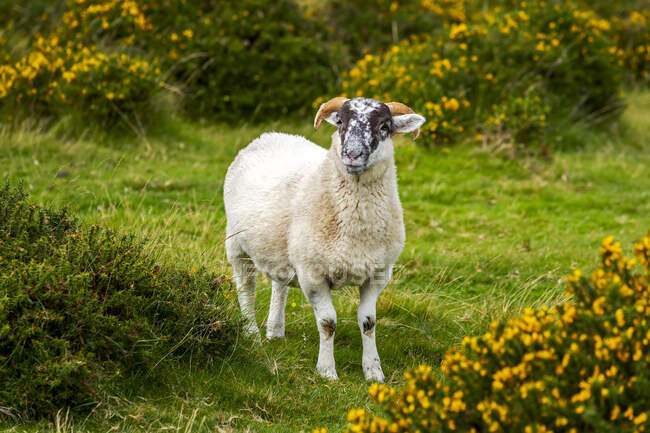 A lamb (Ovis aries) surrounded by flowering shrubs; Cornwall County, England — Stock Photo