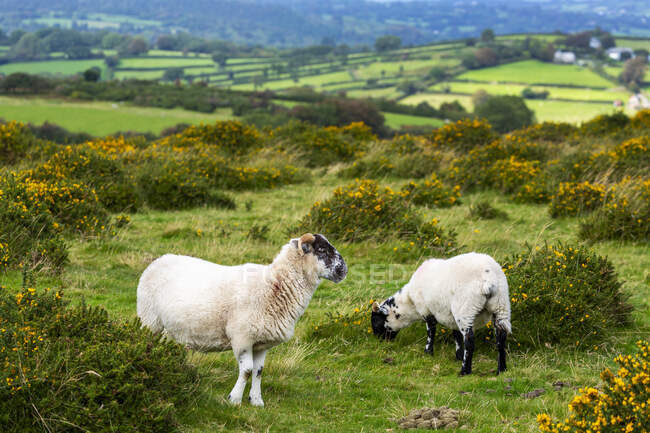 A green meadow with sheep bordered by trees and a patchwork of hilly green meadows in the background; Cornwall County, England — Stock Photo