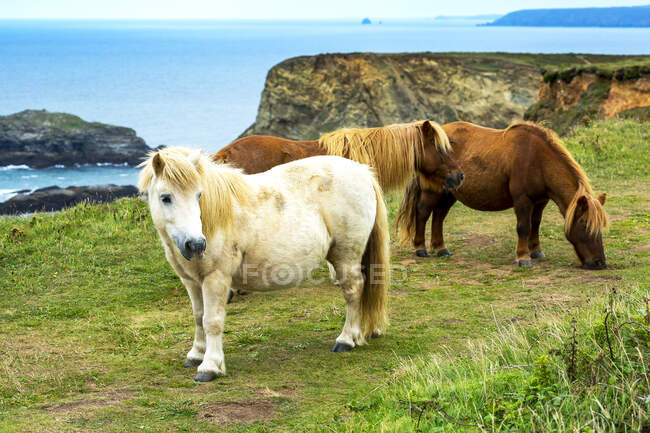 Horses on grassy meadow with rocky cliff shoreline in the background; Cornwall County, England — Stock Photo