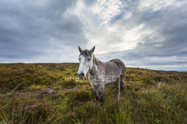 White Irish horse in a boggy field with heather on a cloudy day; Scariff, County Clare, Ireland — Stock Photo