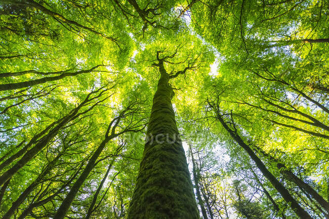 Looking up along the trunk of a mossy tree in summer, Lough Graney; County Clare, Ireland — стокове фото