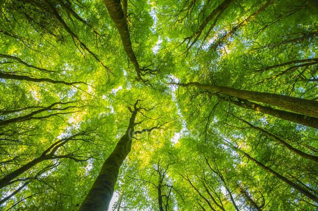 Mirando hacia arriba a los patrones fractales formados por los árboles en el bosque, Lough Graney; Condado de Clare, Irlanda - foto de stock