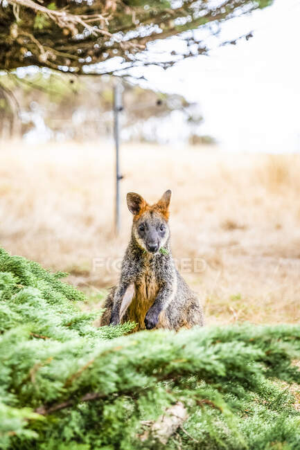 Portrait of a Wallaby sitting on grass under a tree; Phillip Island, Victoria, Australia — Stock Photo