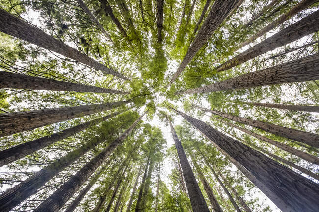 Looking directly up at the treetops of the California Redwoods (Sequoia sempervirens) and sky; Beech Forest, Victoria, Australia — Stock Photo