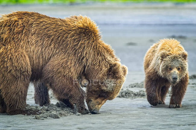 Bear (Ursus arctos) viewing at Hallo Bay Camp. A sow and her two cubs hunt for clams while awaiting the arrival of salmon to local streams; Alaska, United States of America — Stock Photo