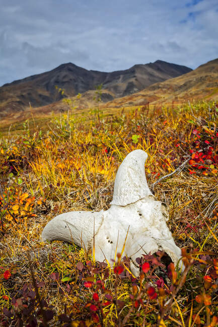 Dall Sheep skull on fall coloured tundra, Brooks Mountains in the background. Gates of the Arctic National Park and Preserve, Arctic Alaska in autumn; Alaska, United States of America — Stock Photo