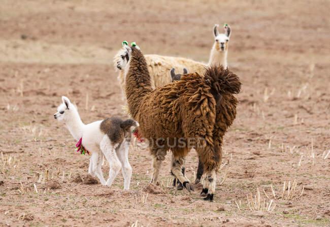 Llamas and cria (Lama glama); Nor Lipez Province, Potosi Department, Bolivia — Stock Photo