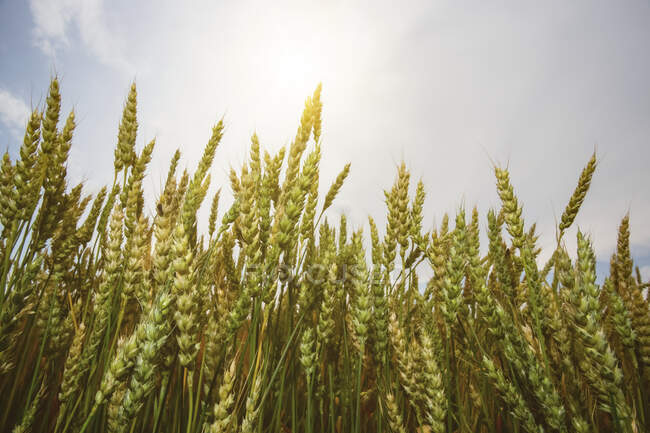Close-up of ripening wheat heads under a blue sky with cloud; Alberta, Canada — Stock Photo