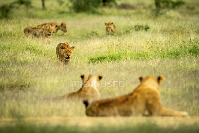 Lioness (panthera leo) walking through a field of long grass while the rest of the pride watches; Tanzania — Stock Photo