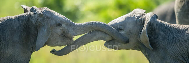 Panorámica de cerca de dos elefantes jóvenes (Loxodonta africana) juegan peleando con sus troncos; Kenia - foto de stock