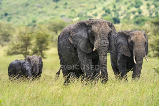 Dos elefantes adultos africanos (Loxodonta africana) caminando sobre la sabana con dos elefantes jóvenes; Tanzania - foto de stock