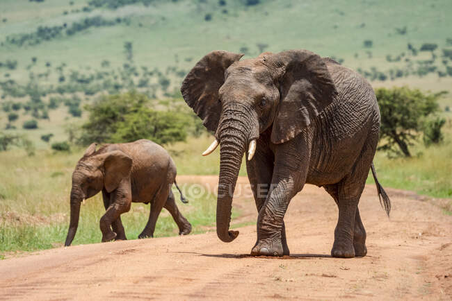 Elefante arbusto africano adulto (Loxodonta africana) caminando por el camino de tierra con ternera de elefante en un día soleado; Tanzania - foto de stock