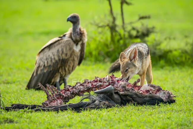Чорна спина шакала (Canis mesomelas) годує тушу, як гриф стоїть; Танзанія — стокове фото