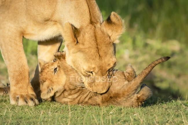 Зблизька левиця (Panthera leo) бавиться з дитинчатами на траві в сонячний день; Танзанія — стокове фото