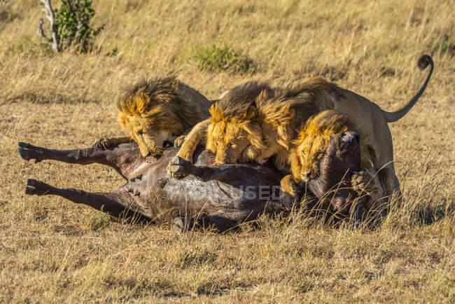 Чотири самці левів (Panthera leo) харчуються мертвими буйволами в савані; Танзанія — стокове фото