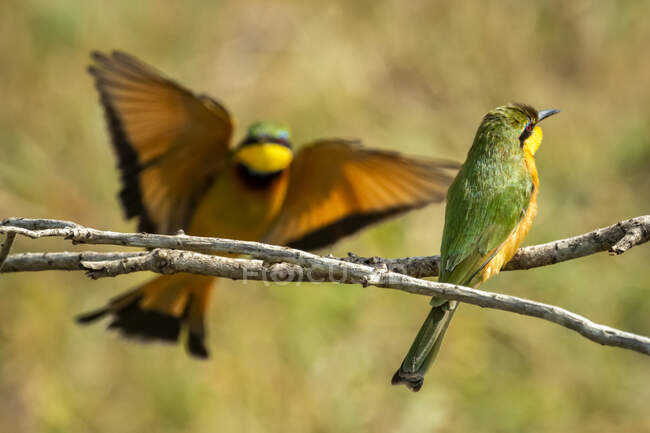 Pequeño abejero (Merops pusillus) encaramado en la rama de un árbol con otro aterrizaje; Tanzania - foto de stock