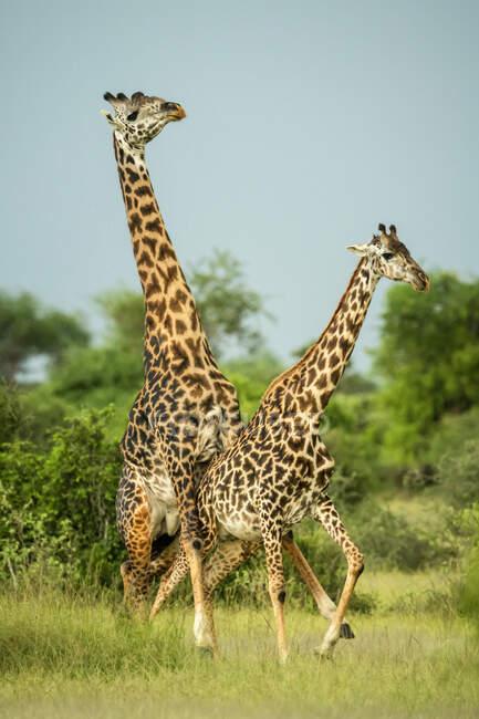 Jirafas Masai macho (Giraffa camelopardalis tippelskirchii) apareándose en la sabana en un día soleado; Tanzania - foto de stock