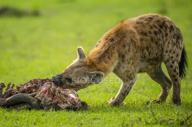 Шматок гієни (Крокута Крокута), що живиться тулубом гну на савані; Танзанія. — стокове фото
