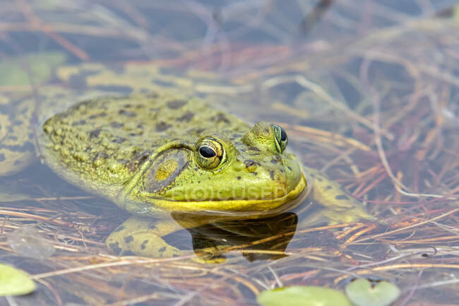 North american bullfrog (Lithobates catesbeianus) watching at the surface of a lake. Frog resting on aquatic vegetation, La Mauricie National Park; Quebec, Canada — Stock Photo