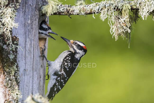 Picchio peloso (Leuconotopicus villosus) che nutre il nido, La Mauricie National Park; Quebec, Canada — Foto stock