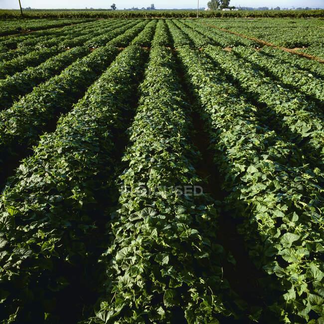 Agricultura - Fileiras de plantas de pepino em meados do verão / Lodi, Califórnia, EUA. — Fotografia de Stock