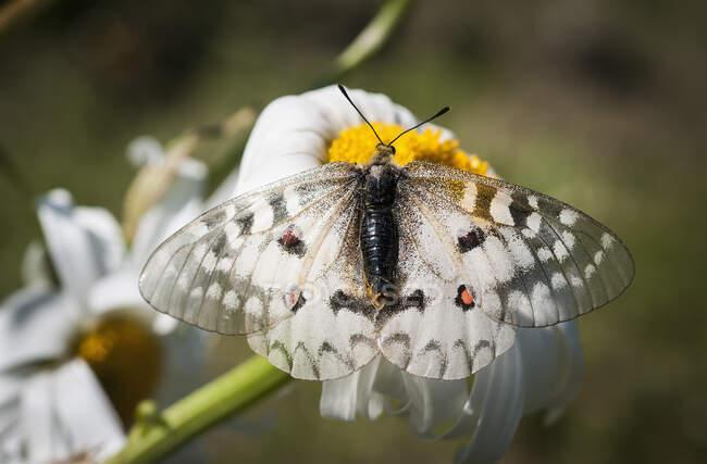 An Apollo Butterfly (Parnassius Apollo) Seeking Nectar From A Daisy; Astoria, Oregon, United States Of America — Stock Photo
